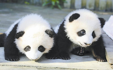 Why not be a panda keeper in Dujiangyan Panda Base?