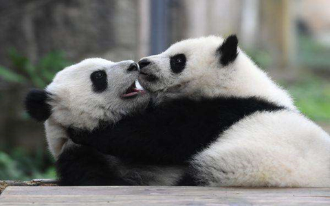 Chengdu Giant Panda Breeding and Research Center