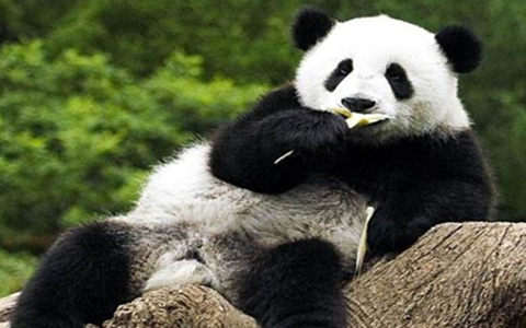 Big News of Chengdu Panda Base in Chinese New Year!!!!!!
