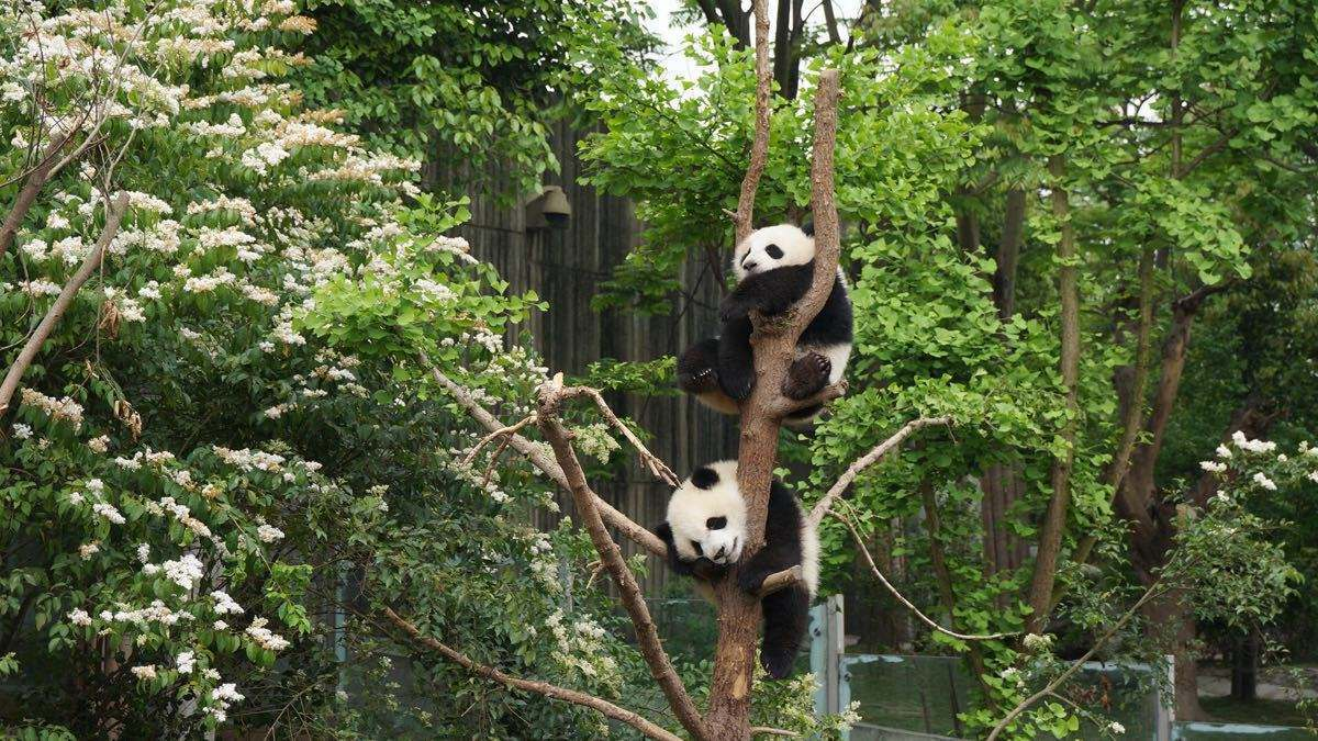 Panda climing the tree